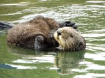 Mama Otter carrying her babe