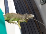 Barb the Iguana. She came on board and spent the better part of an afternoon with us.
